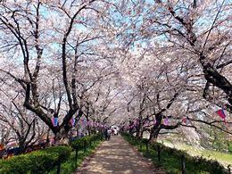 権現堂桜並木
